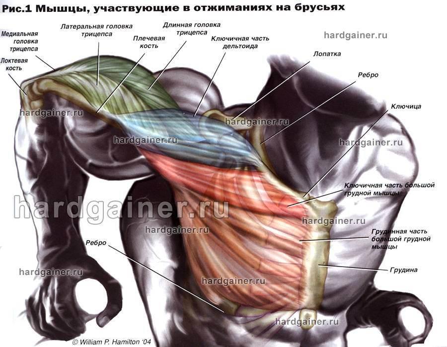 Грудные мышцы выполняют