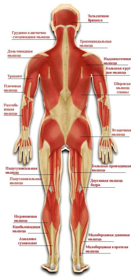 Мышцы задней поверхности тела