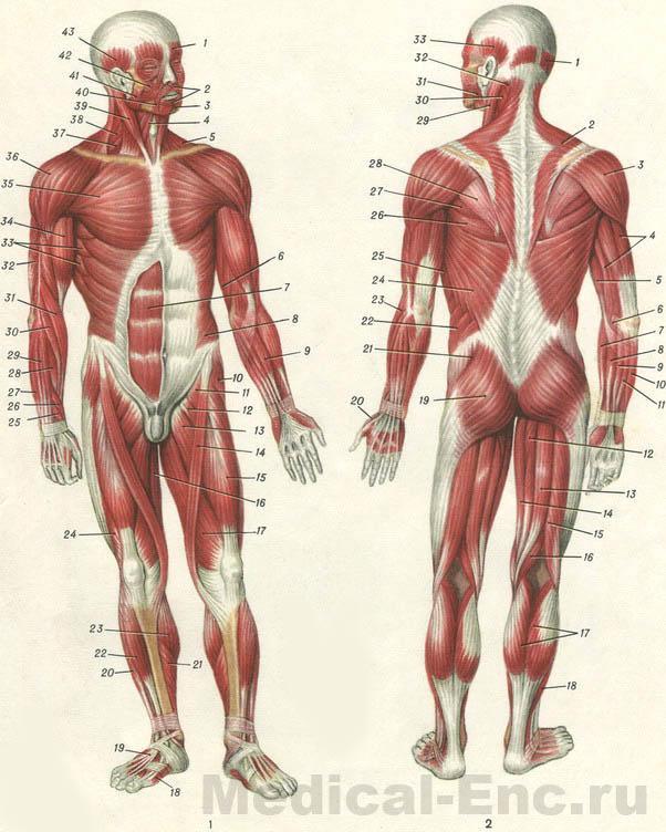 Мышцы человека (вид спереди).